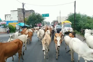 -estcourt-cow-to-cow-shed