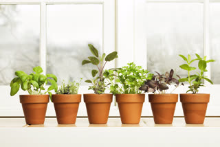 what plants can be grown at home, which plants are easy to grow, indoor plants to grow at home, basics of gardening, gardening, gardening tips, indoor plants, plants with medicinal benefits, which herbs can be grown at home, benefits of herbs